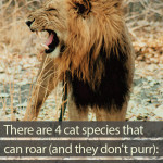 Which cats roar and don't purr?