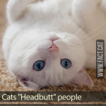 Whydo cats headbutt people?