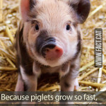 How many piglets acted in Babe (1995)?