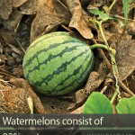 What are watermelons made of?